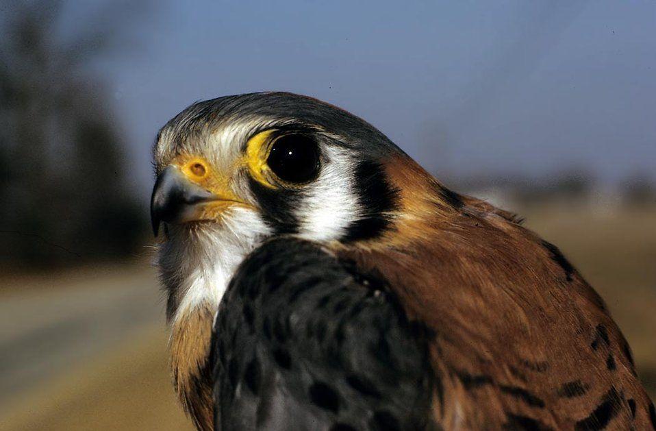 "<img src=""kestrel.jpg"" alt=""A close up of an American Kestrel looking at the camera"">"