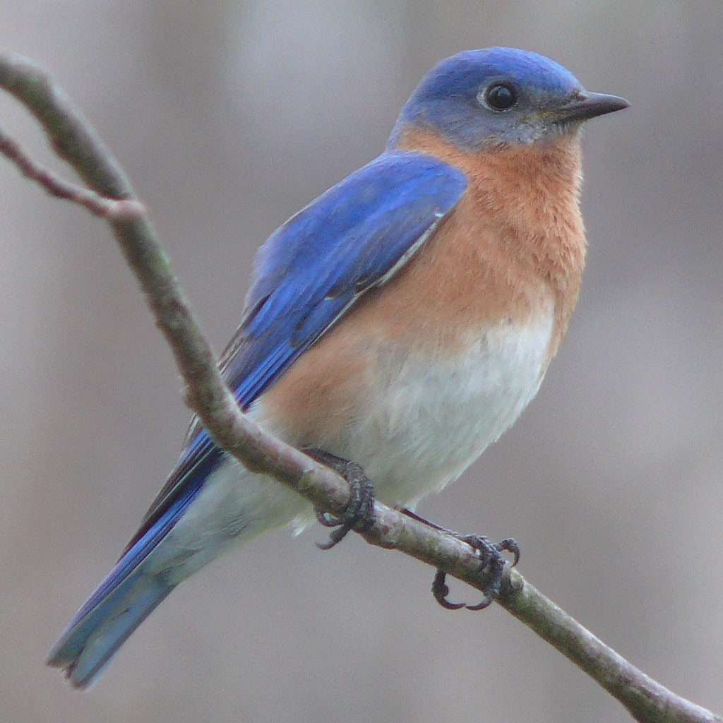 """<img src=""""bluebird.jpg"""" alt=""""An Eastern Bluebird on a branch"""">"""