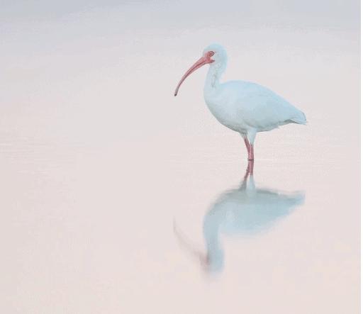 """<img src=""""Ibis.png"""" alt=""""White Ibis in Florida"""">"""