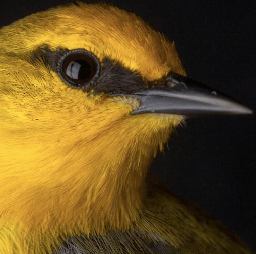 """<img src=""""warbler.png"""" alt=""""A close-up of a Golden-winged Warbler"""">"""