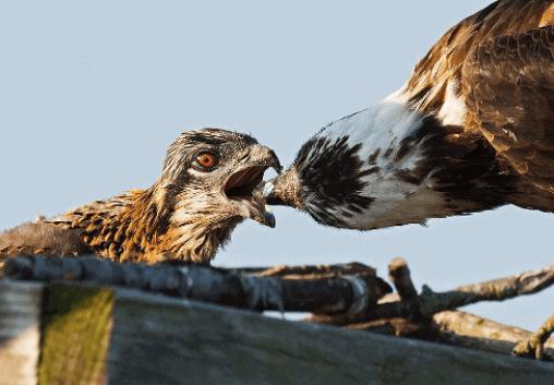 "<img src=osprey.png"" alt=""Osprey bird feeding its chick"">"
