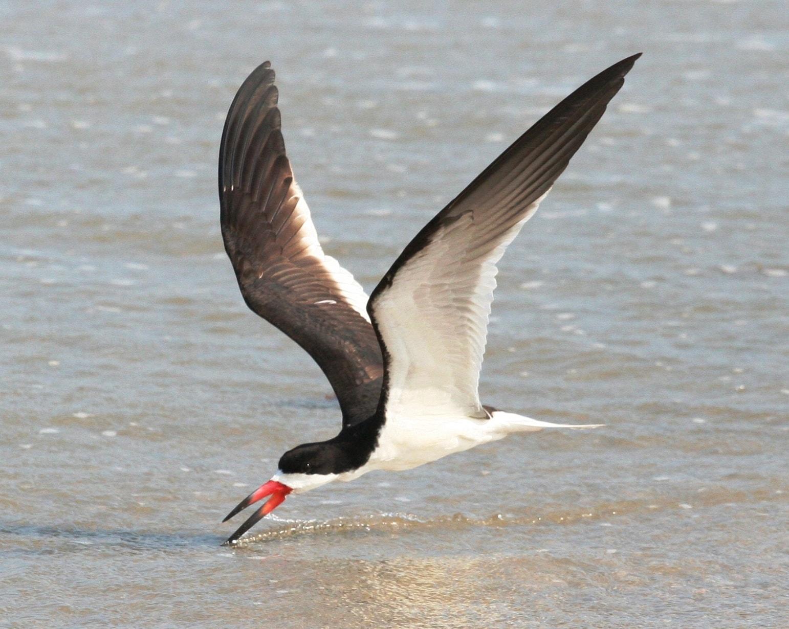"<img src=""shorebird.jpg"" alt=""A black Skimmer gliding to get fish from water"">"