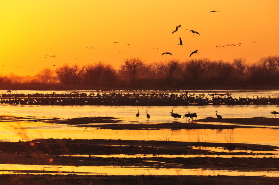 The Great Sandhill Crane Migration of Kearney, Nebraska