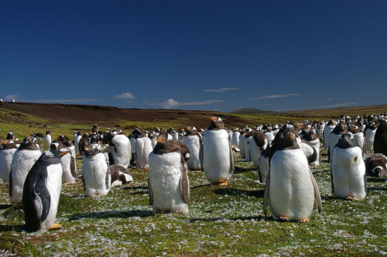 The Million Penguins of the Falkland Islands