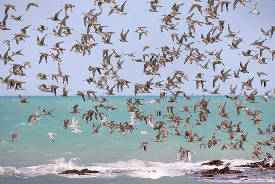 The World's Largest Array of Shorebirds, Roebuck Bay, Australia