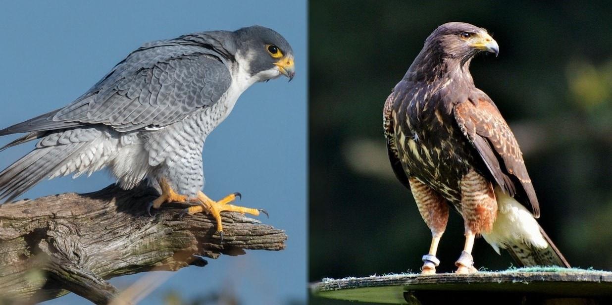 Falcon vs Hawk