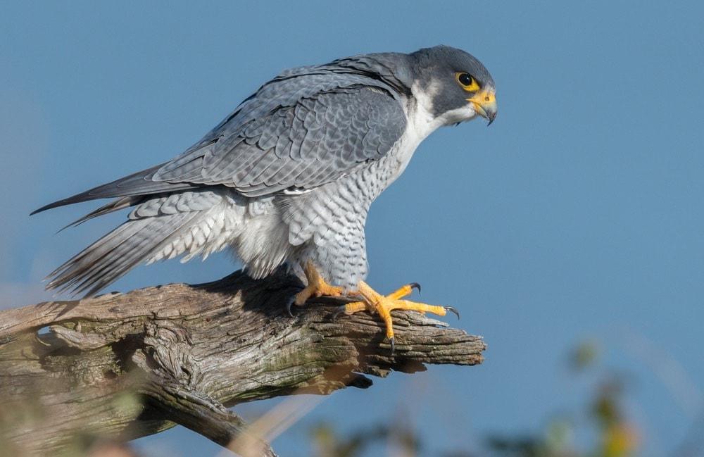 Peregrine falcon on branch
