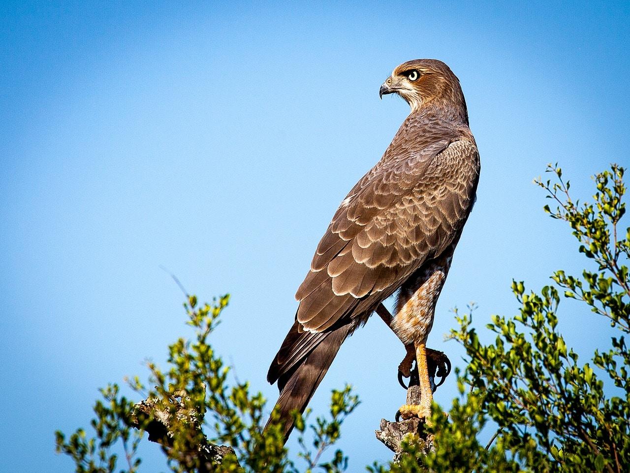 a falcon