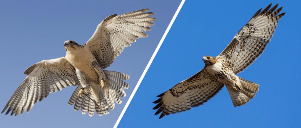 falcon vs hawk flying
