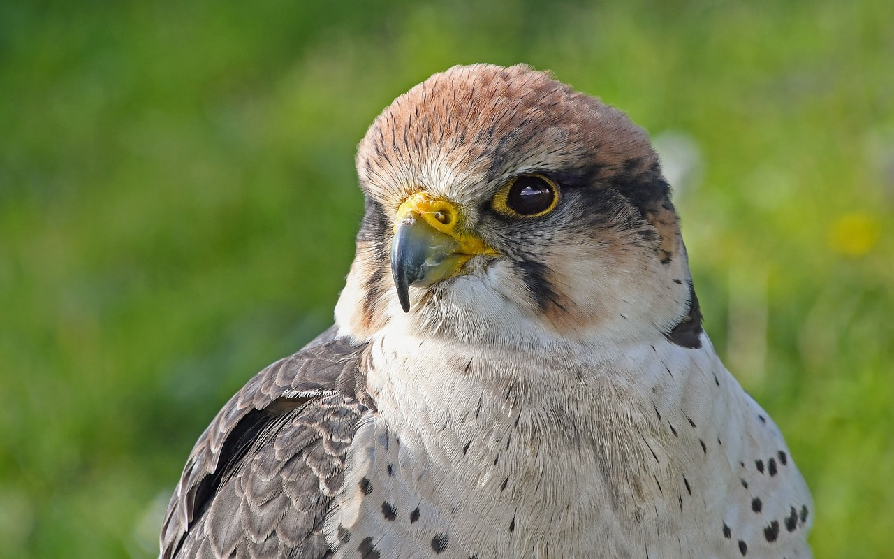 young falcon close up