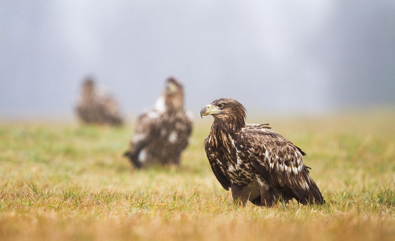 eagles in the field
