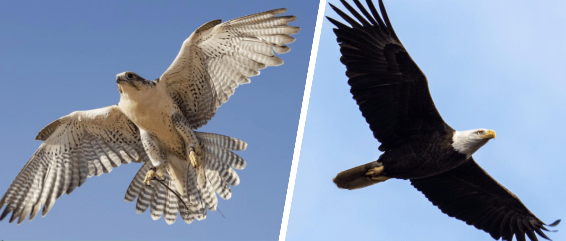 falcon vs eagle flying