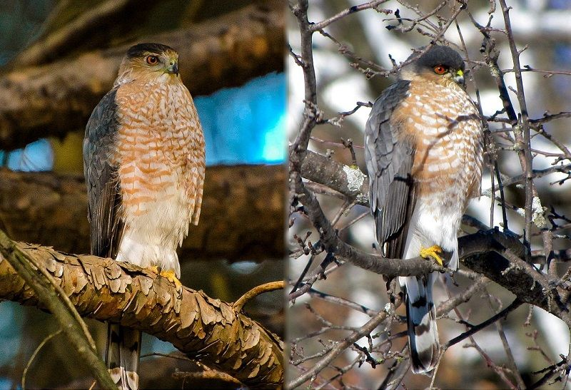Cooper's Hawks vs Sharp-Shinned Hawks