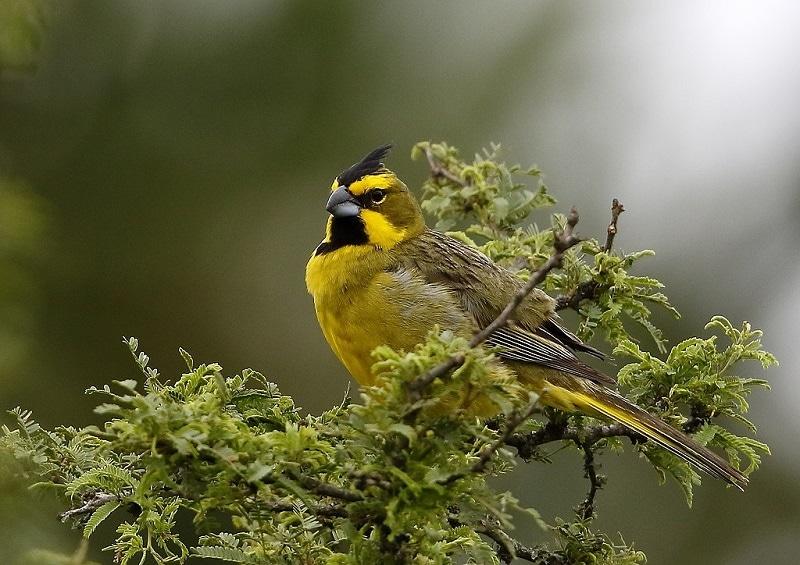 Gubernatrix cristata - Yellow cardinal
