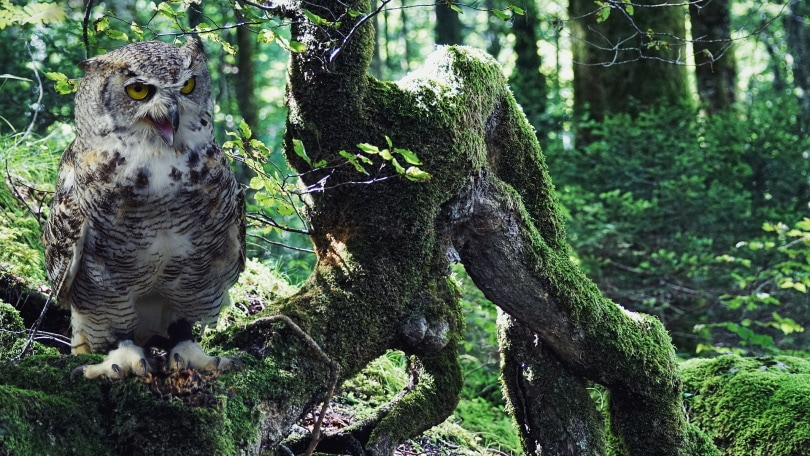 OWL_ suju-foto_Pixabay