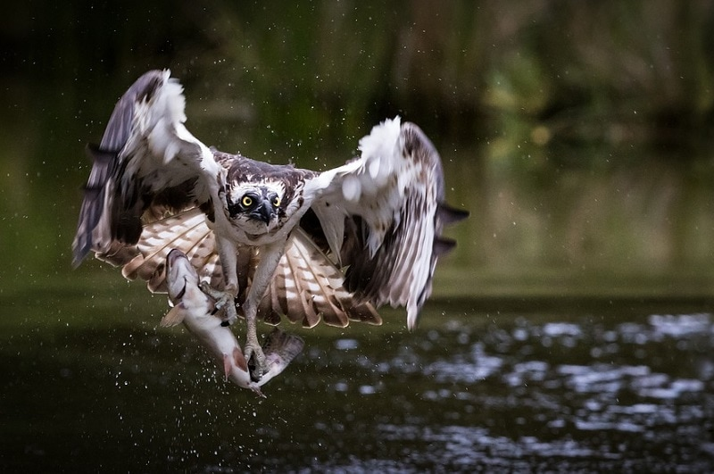 Osprey hunting fish