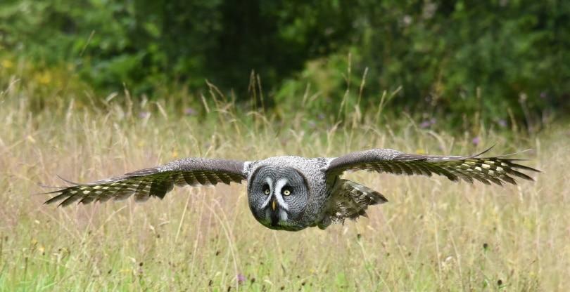 Owl in grass_Pixabay