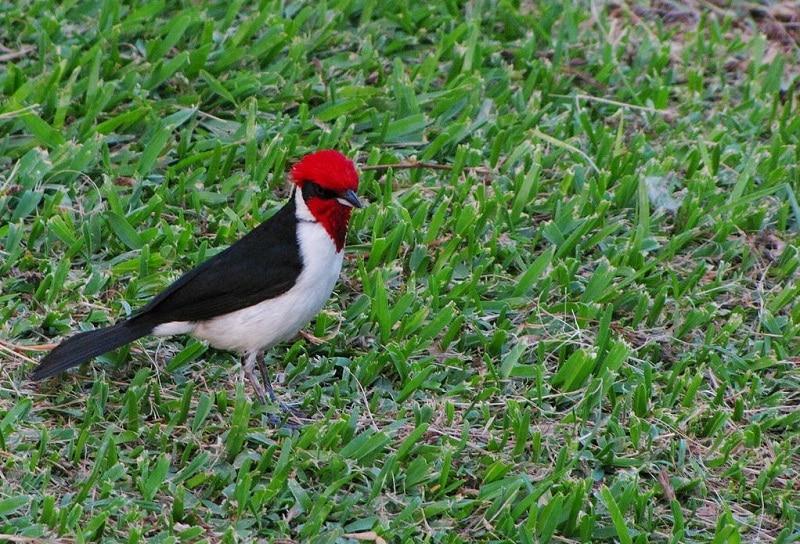 Paroaria gularis_Red-Capped Cardinal