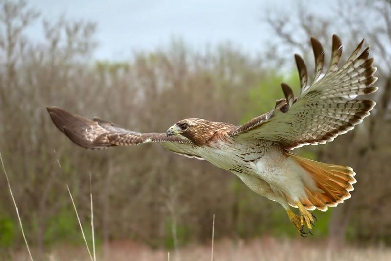 Red-tailed hawk_Shutterstock_Justin Buchli