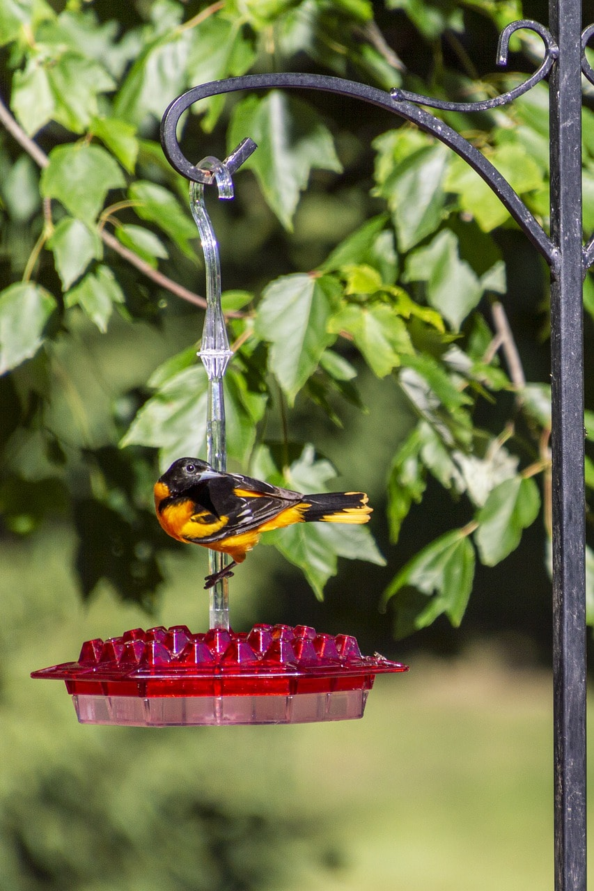 baltimore oriole and feeder