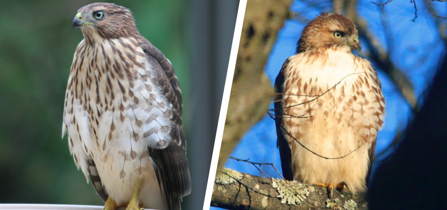 cooper's vs sharp shinned hawk
