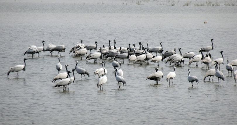 crane birds_Piqsels