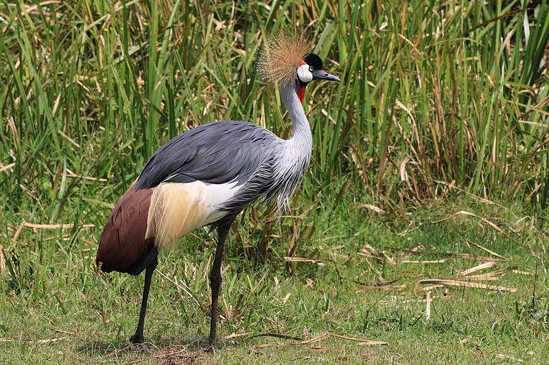 grey crowned crane_Charlesjsharp_Wikimedia