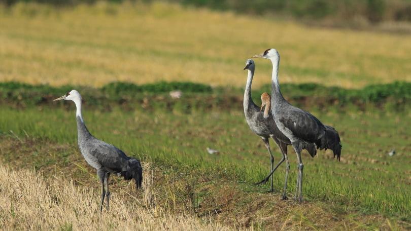 hooded crane_Harusan_Shutterstock