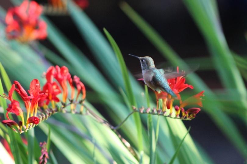 hummingbird and flower_markschult_Pixabay