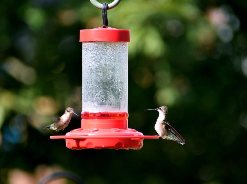 hummingbird feeder_Paul Brennan_Pixabay