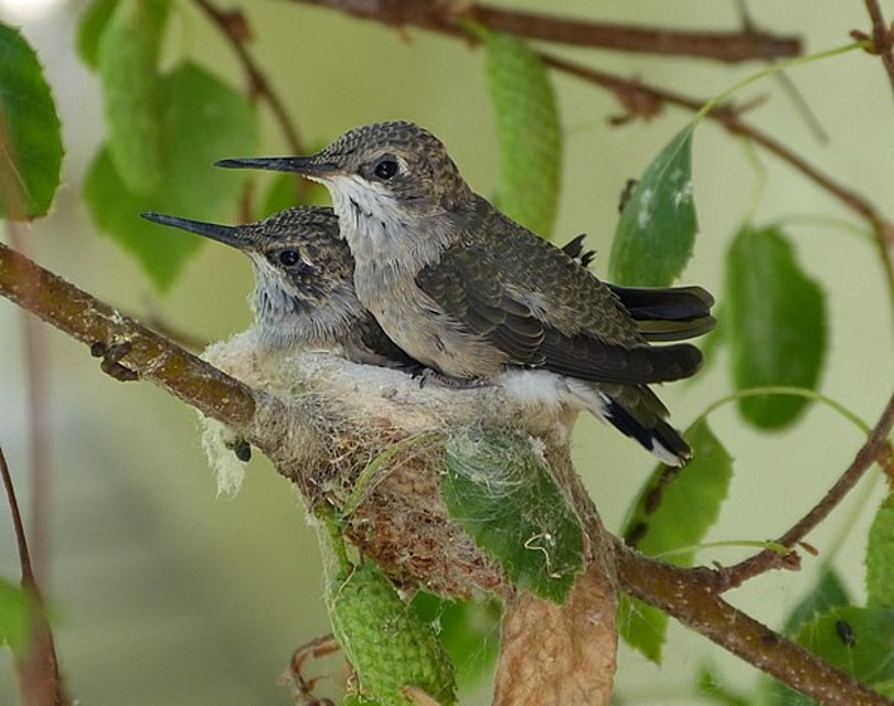 hummingbirds nest_Rudolphous_Wikimedia