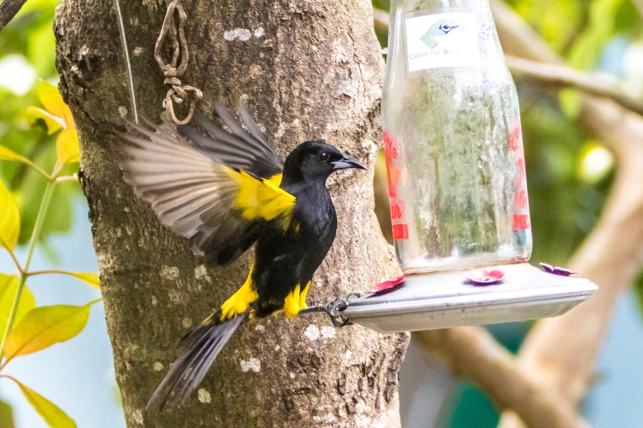 oriole and feeder