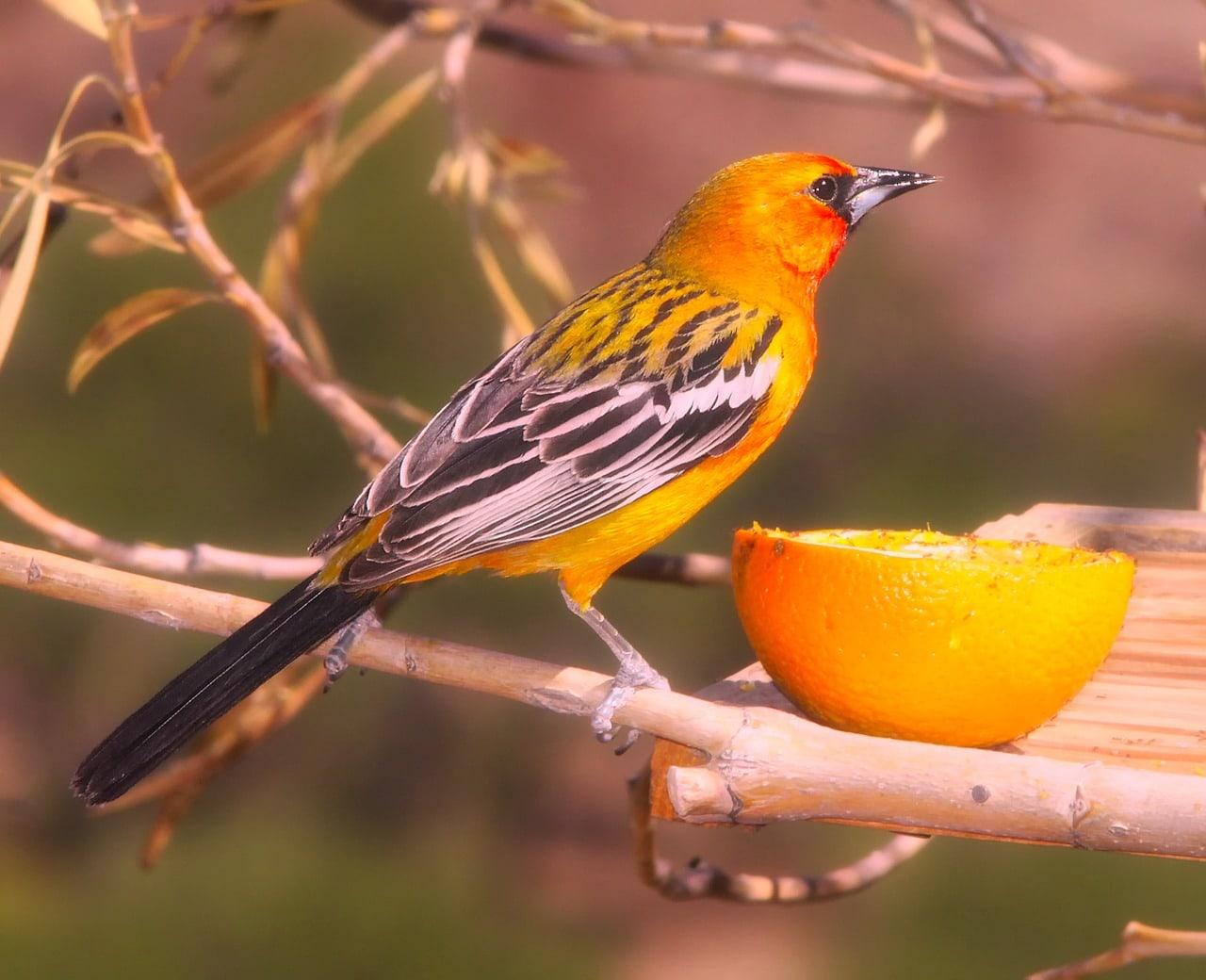oriole and orange close up