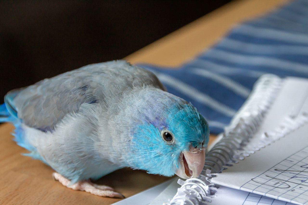 parrotlet chewing paper