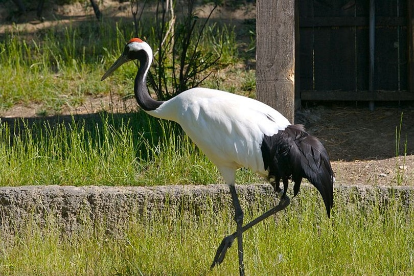 red crowned crane_Flickr upload bot_Wikimedia