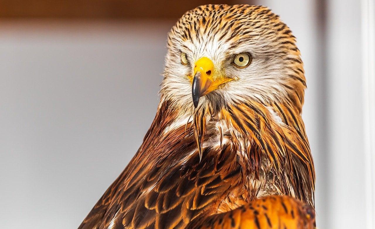 red kite bird close up