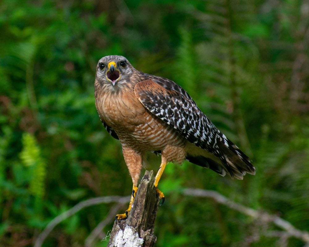 red shouldered hawk calls to its mate