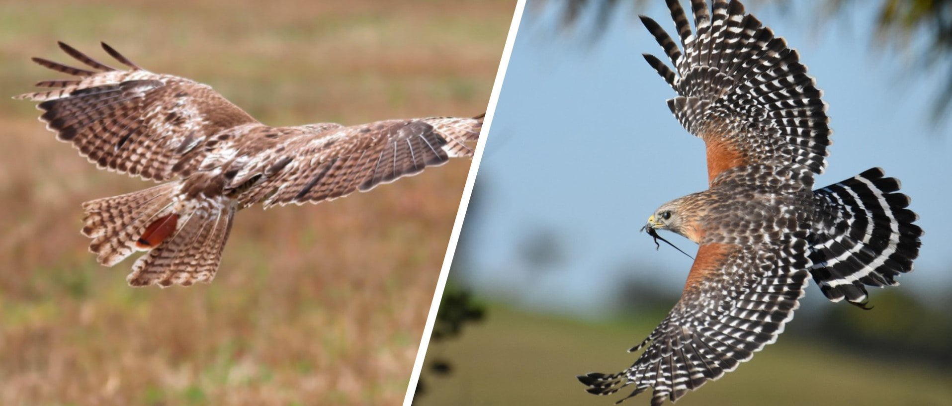 red tailed vs red shouldered hawks