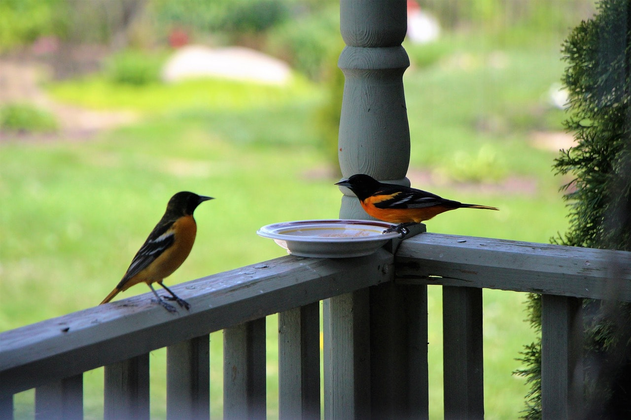 two orioles