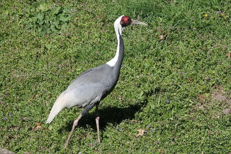 white naped crane__Fredlyfish4_Wikimedia