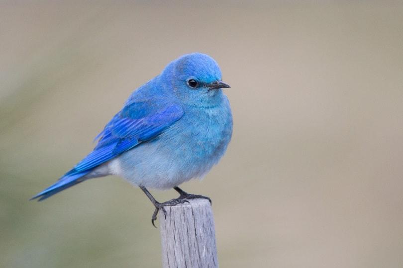 Mountain-Bluebird_Double-Brow-Imagery_shutterstock