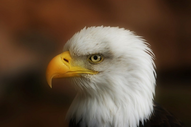 eagle bird feather-pixabay