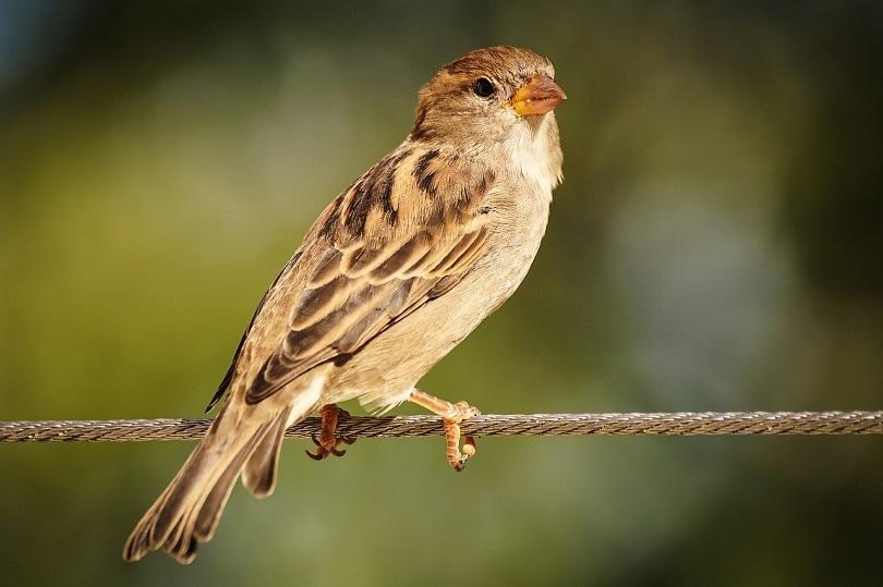 sparrow-bird-pixabay