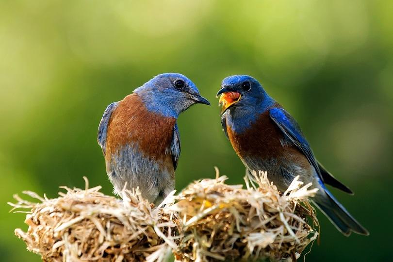 western-bluebird-couple_Jesse-Nguyen_shutterstock